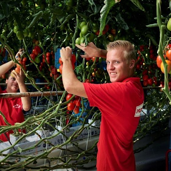 Man die tomaten aan het plukken is