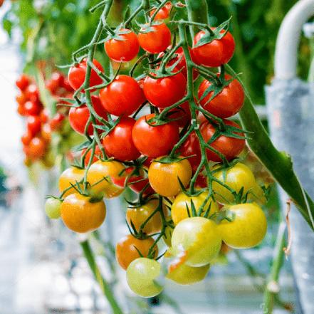 Een grote tros tomaten die hangt met veel kracht aan de haken